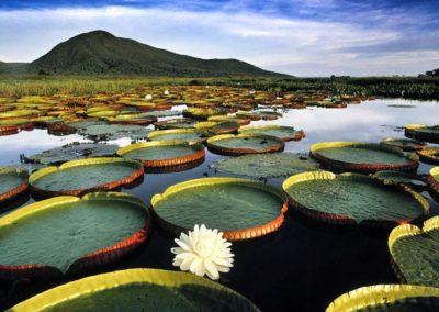 Amazonian water lily pads